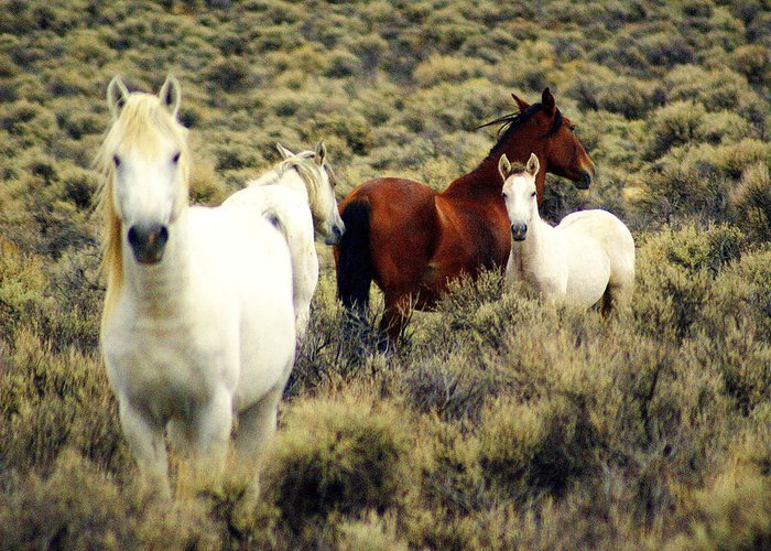 Horses Greeting Card featuring the photograph Nevada Wild Horses by Marty Koch