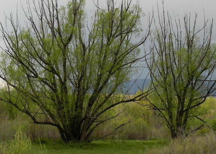 Trees Greeting Card featuring the photograph New and Green by Adrienne Petterson