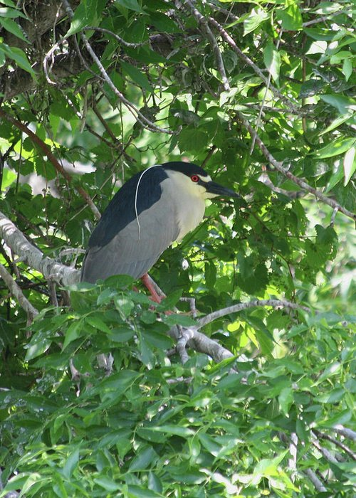 Black-crowned Night Heron Greeting Card featuring the photograph Night Heron by Rachel Roushey