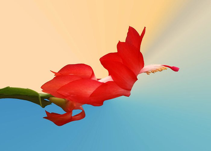 Christmas Cactus Greeting Card featuring the photograph No Fear Of Flying by Kristin Elmquist