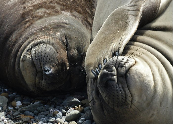 Elephant Seals Greeting Card featuring the photograph No More Pics Please by Ernie Echols