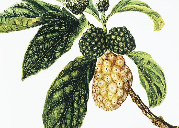 1890 Greeting Card featuring the painting Noni Fruit by Hawaiian Legacy Archive - Printscapes