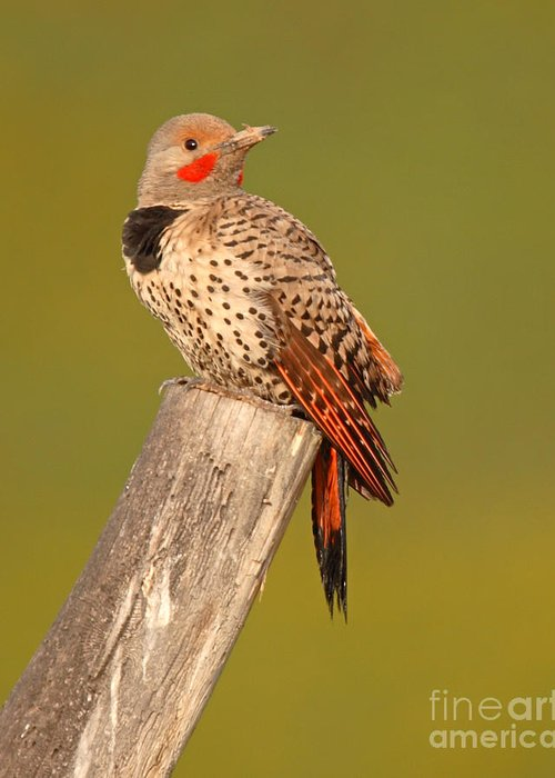 Flicker Greeting Card featuring the photograph Northern Flicker Looking Back by Max Allen