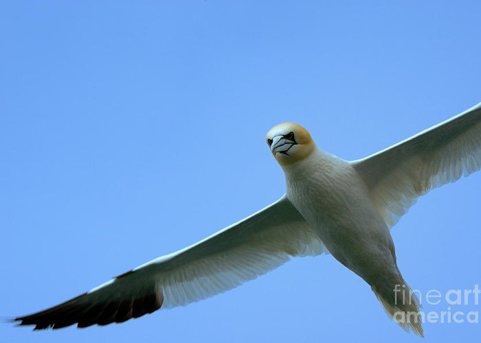 Animal Greeting Card featuring the photograph Northern Gannet Flying Through Blue Skies by Sami Sarkis