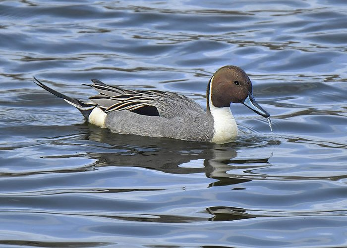 Duck Greeting Card featuring the photograph Northern Pintail by Alan Lenk