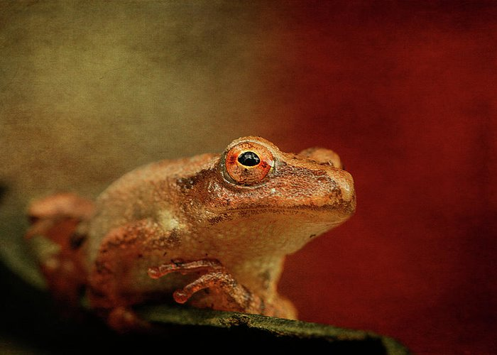 Cindi Ressler Greeting Card featuring the photograph Northern Spring Peeper by Cindi Ressler