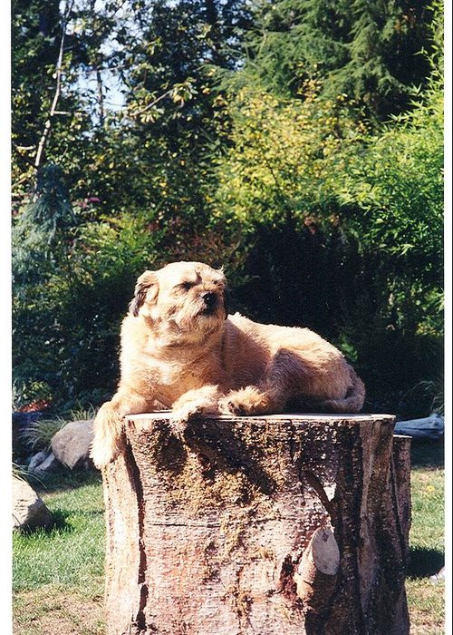 Border Terrier Greeting Card featuring the photograph Nui Sunbathing by Laura Johnson