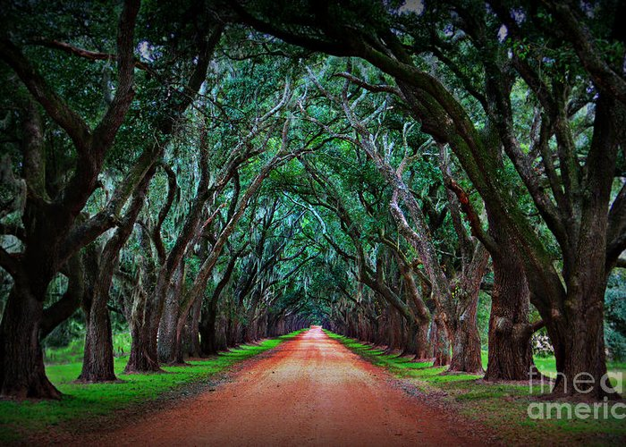 Oak Alley Greeting Card featuring the photograph Oak Alley Road by Perry Webster