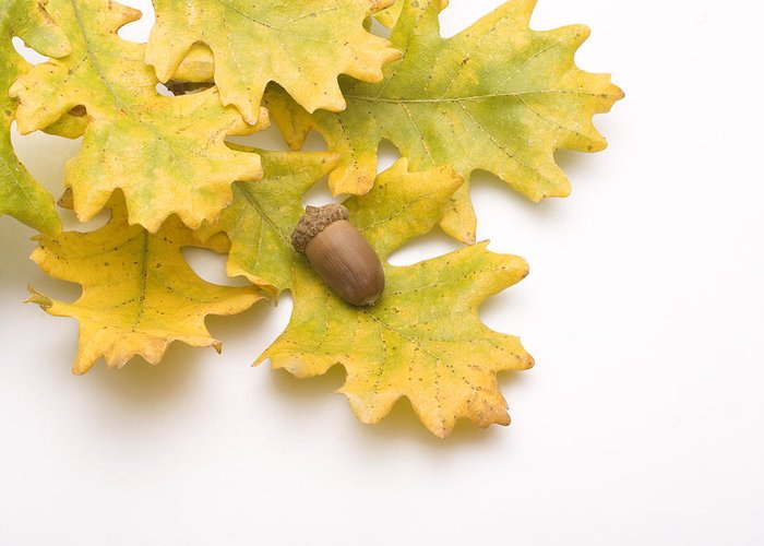 Acorn Greeting Card featuring the photograph Oak Leaves And Acorns by Utah Images