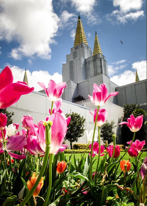 Oakland Temple Photography Greeting Card featuring the photograph Oakland Pink Tulips by La Rae Roberts