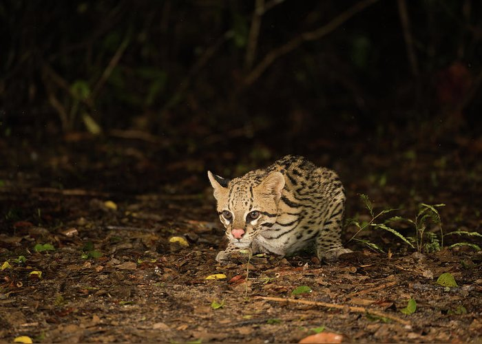 Brazil Greeting Card featuring the photograph Ocelot Crouching At Night Looking For Food by Ndp