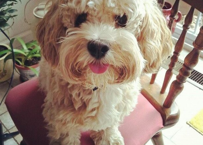 Oh My Gosh, I Love You  #puppy #cavapoo Greeting Card