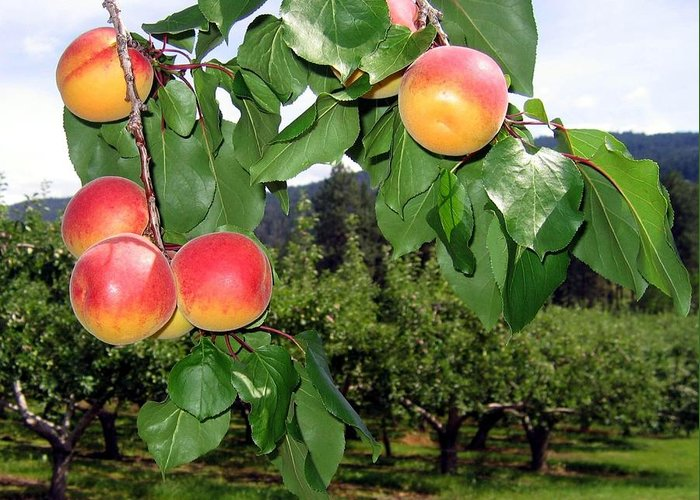 Apricots Greeting Card featuring the digital art Okanagan Apricots by Will Borden