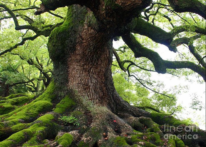 Tree Greeting Card featuring the photograph Old Tree In Kyoto by Carol Groenen