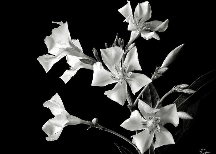 Flower Greeting Card featuring the photograph Oleander In Black And White by Endre Balogh
