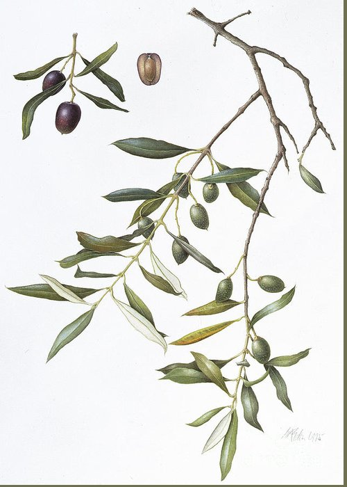 Olive Green Drawings Greeting Cards