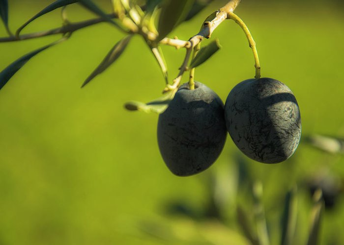 Nature Greeting Card featuring the photograph Olives #1 by Ignacio Leal Orozco