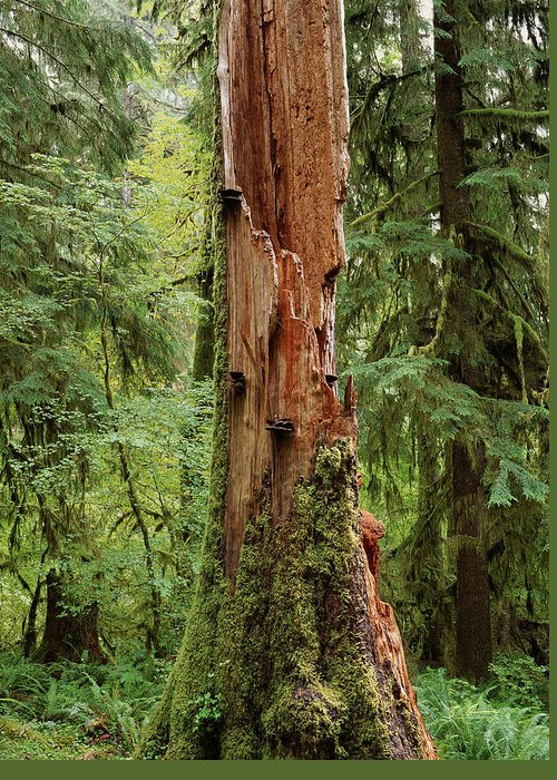 Washington Greeting Card featuring the photograph Olympic Rainforest #1 by Casey Chinn