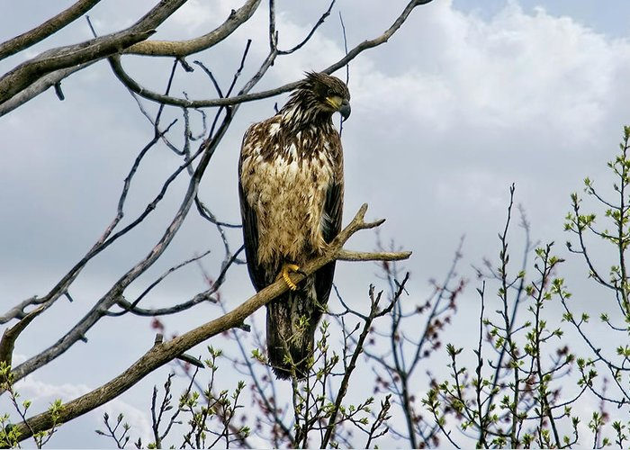 Eagle Greeting Card featuring the photograph On The Lookout by Gary Smith