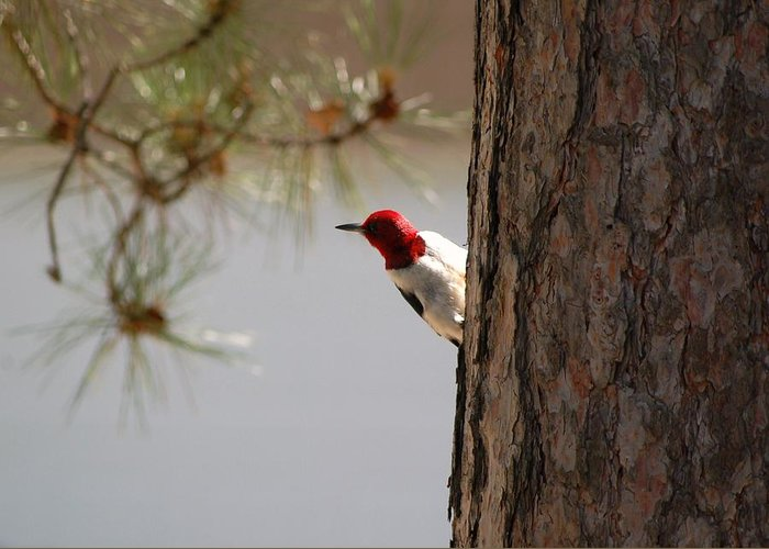 Woodpecker Greeting Card featuring the photograph On The Lookout by Jennifer Englehardt