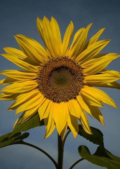 Sunflower Greeting Card featuring the photograph On the rise by Mark Wiley