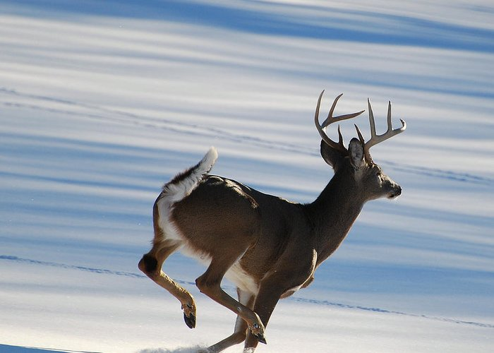 Deer Greeting Card featuring the photograph On The Run by Todd Hostetter