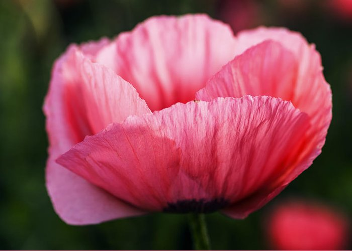 One Single Pink Poppy Flower Greeting Cards