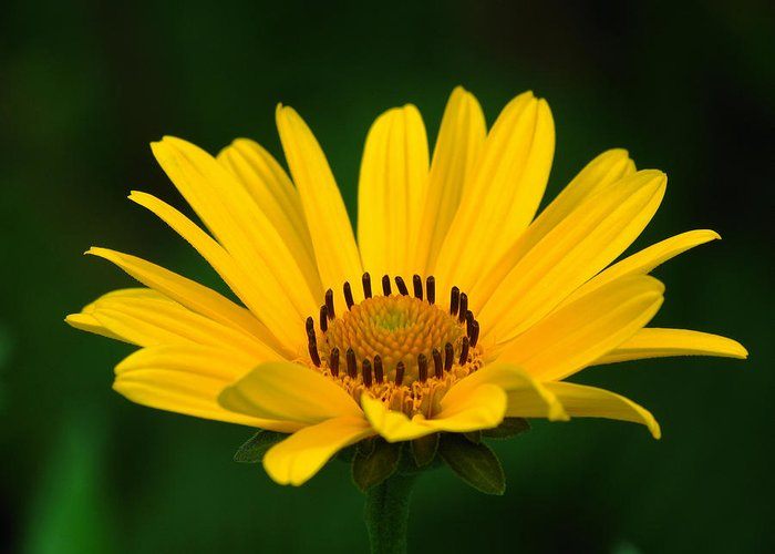 Daisy Greeting Card featuring the photograph One Daisy by Juergen Roth