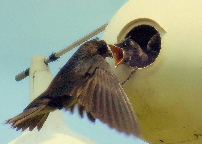 Purple Martins Greeting Card featuring the photograph Open Wide by Karen Wiles