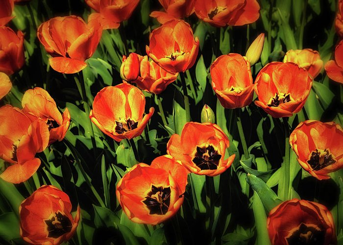 Tulip Greeting Card featuring the photograph Open Wide - Tulips On Display by Tom Mc Nemar