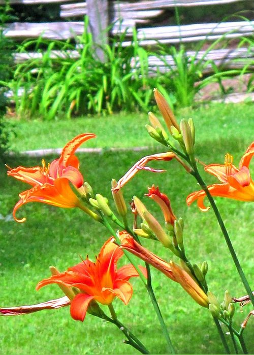 Lilly Greeting Card featuring the photograph Orange And Green by Ian MacDonald