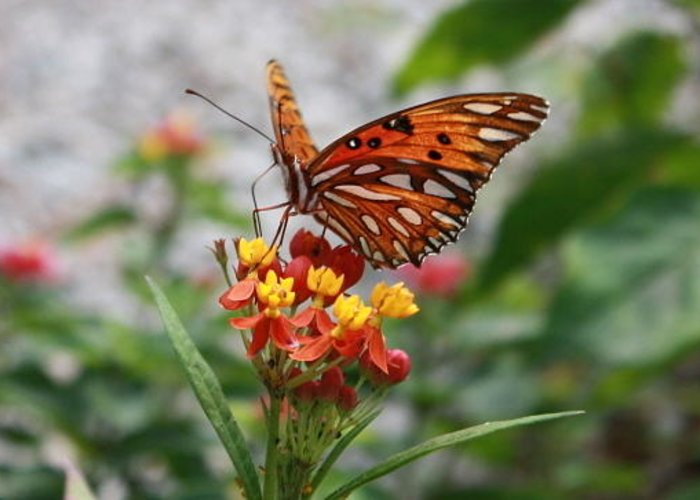 Butterfly Greeting Card featuring the photograph Orange Beauty by Judith Morris