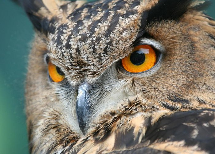 Owl Greeting Card featuring the photograph Orange Crush by Laddie Halupa