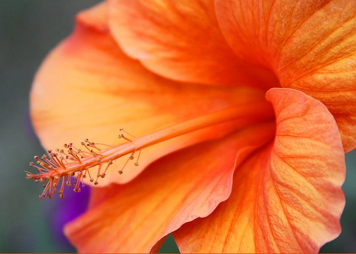Gayle Johnson Greeting Card featuring the photograph Orange Hybiscus by Gayle Johnson
