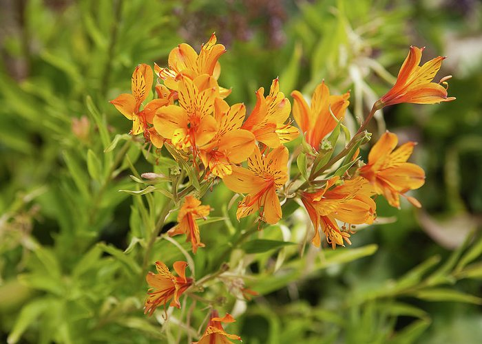 Flowers Greeting Card featuring the photograph Orange Lilies by Liz Santie