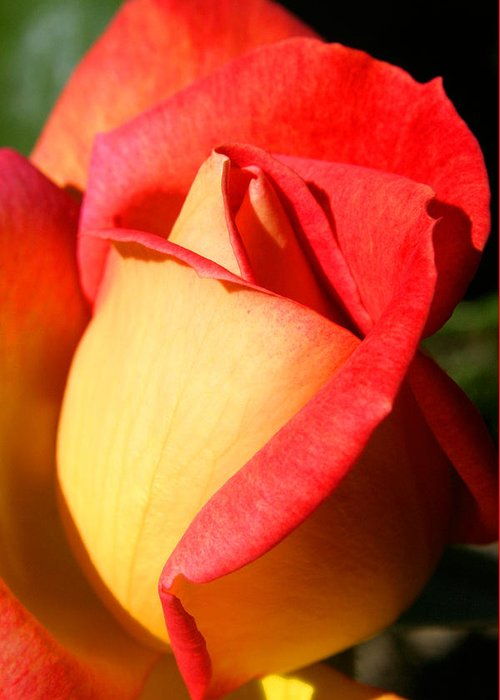 Orange Rosebud Greeting Card featuring the photograph Orange Rosebud by Ralph A Ledergerber-Photography