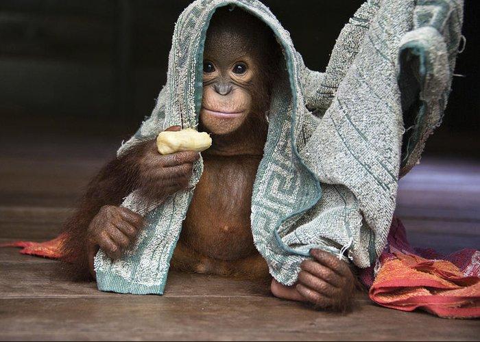 00486841 Greeting Card featuring the photograph Orangutan 2yr Old Infant Holding Banana by Suzi Eszterhas
