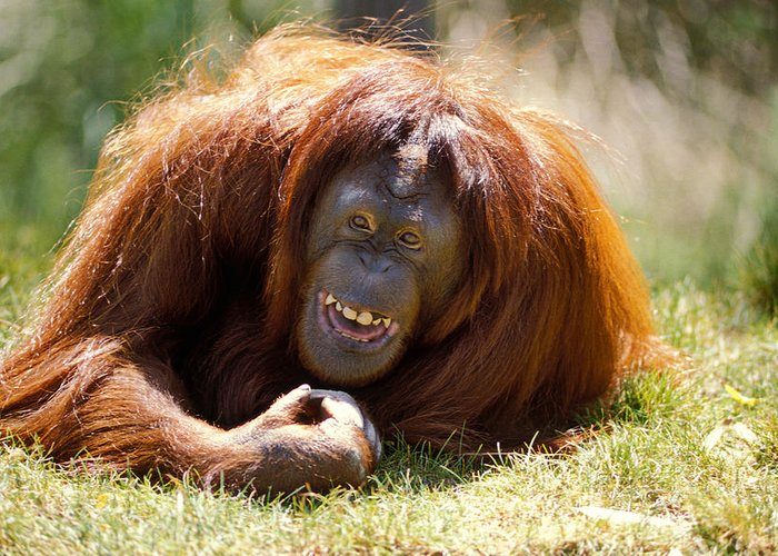 Animal Greeting Card featuring the photograph Orangutan In The Grass by Garry Gay