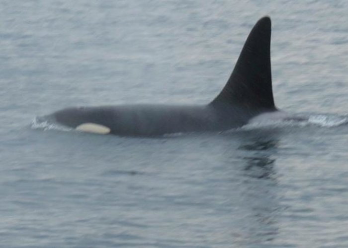 Greeting Card featuring the photograph Orca by Bill Jordan