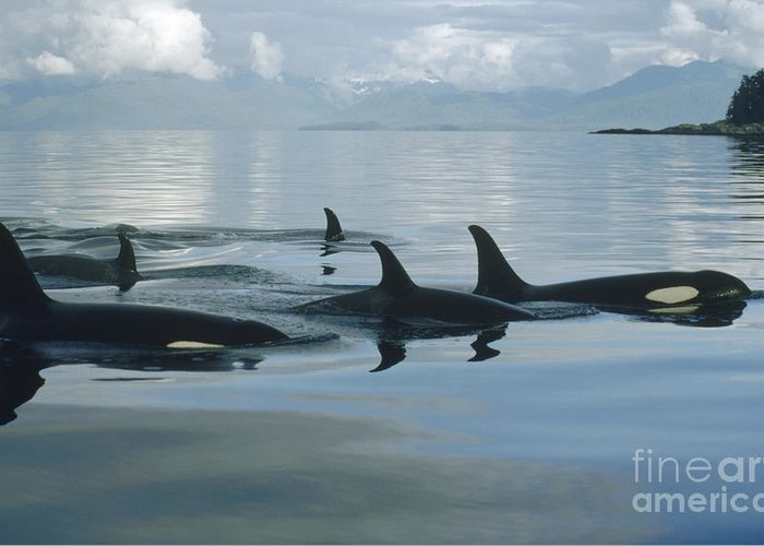 00079478 Greeting Card featuring the photograph Orca Pod Johnstone Strait Canada by Flip Nicklin