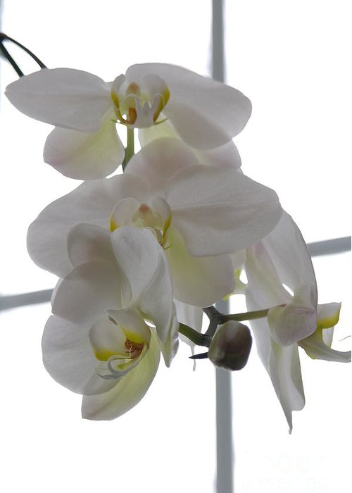 Orchid Greeting Card featuring the photograph Orchid - 101 by David Bearden