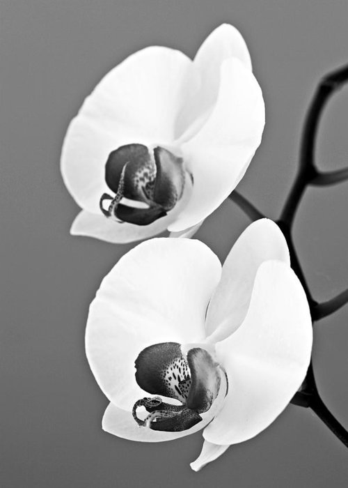 Orchid Greeting Card featuring the photograph orchid-4- St Lucia by Chester Williams
