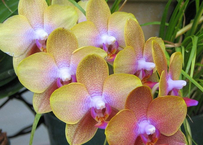 Orchid Greeting Card featuring the photograph Orchid 7 by David Dunham