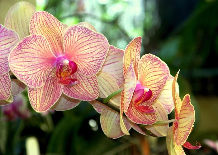 Orchid Greeting Card featuring the photograph Orchid Delight by Karen Wiles