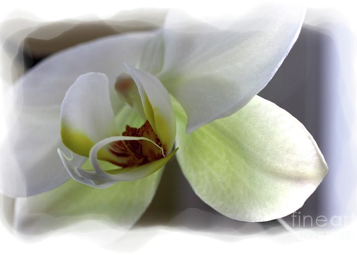 White Orchid Greeting Card featuring the photograph Orchid for Valentines Day by David Bearden