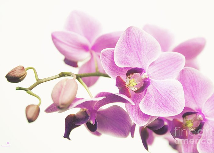 Orchid Greeting Card featuring the photograph orchid II by Hannes Cmarits