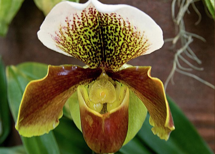 Orchids Greeting Card featuring the photograph Orchid by Laurie Prentice