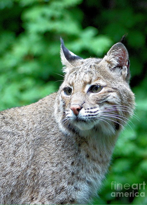 Bobcat Greeting Card featuring the photograph Oregon Bobcat by Nick Gustafson