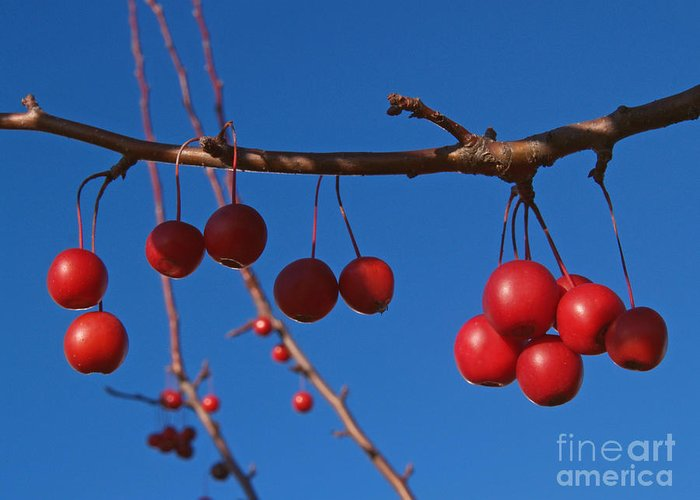 Autumn Greeting Card featuring the photograph Ornamental Crabapple Branch by Anna Lisa Yoder