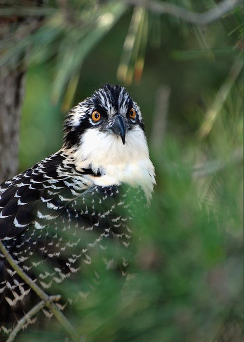 Osprey Greeting Card featuring the photograph Osprey 30 by Joyce StJames